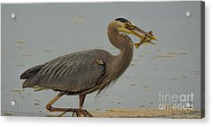 Great Blue Herron Eating Fish Acrylic Print
