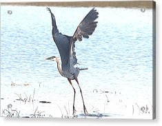 Great Blue Lift Off Series 1 Acrylic Print by Roy Williams