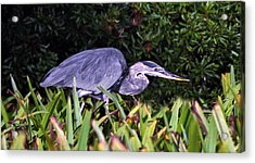 Great Blue On The Hunt. Chassahowtizka N.w.r. Acrylic Print