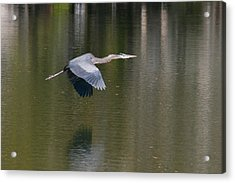 Acrylic Print featuring the photograph Great Blue Over Green by Paul Rebmann
