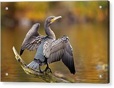 Great Cormorant Drying Its Wings Acrylic Print by Simon Booth