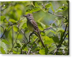 Great Crested Flycatcher Acrylic Print
