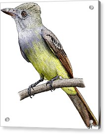 Great Crested Flycatcher Acrylic Print by Roger Hall