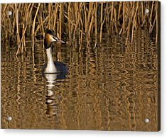 Acrylic Print featuring the photograph Great Crested Grebe by Paul Scoullar