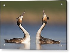 Great Crested Grebes Courting Acrylic Print