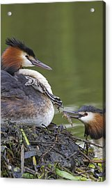 Great Crested Grebes Feeding Chick Acrylic Print by Dickie Duckett