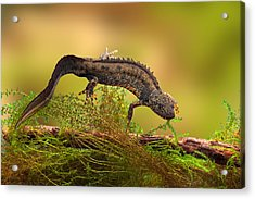 Great Crested New Or Water Dragon Acrylic Print by Dirk Ercken