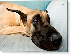 Great Dane Dog On Sofa Acrylic Print by Lanjee Chee