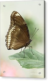 Great Eggfly Butterfly Acrylic Print by Judy Whitton