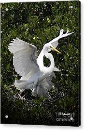 Great Egret 03 Acrylic Print