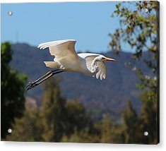 Great Egret 11x14 Acrylic Print