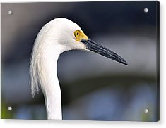 Great Egret Acrylic Print by Andres LaBrada