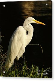 Great Egret At Morning Acrylic Print by Robert Frederick