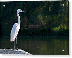 Great Egret At Water's Edge Acrylic Print by K Jayaram