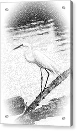 Great Egret Fishing Pencil Sketch Acrylic Print