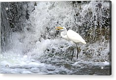 Great Egret Hunting At Waterfall Series 1 Acrylic Print