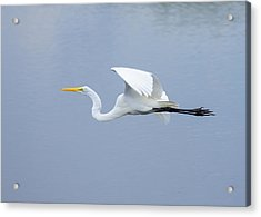 Acrylic Print featuring the photograph Great Egret In Flight by John M Bailey