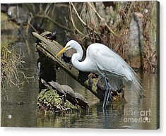 Great Egret In The Swamps Acrylic Print by Kathy Baccari