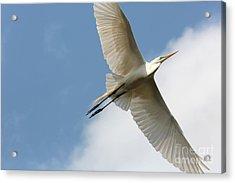 Great Egret Overhead Acrylic Print by Carol Groenen