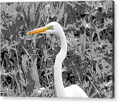 Great Egret Poster Acrylic Print by Dan Sproul