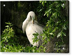 Acrylic Print featuring the photograph Great Egret Preen by Jennifer Zelik