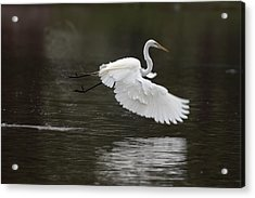Great Egret Takeoff Acrylic Print by Gary Langley