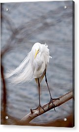 Great Egret Windy Portrait Acrylic Print