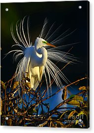 Great Egret With Breeding Plumage 1 Acrylic Print