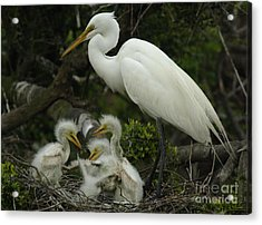 Great Egret With Young Acrylic Print by Bob Christopher