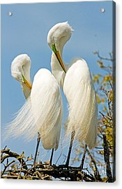 Great Egrets At Nest Acrylic Print by Millard H Sharp