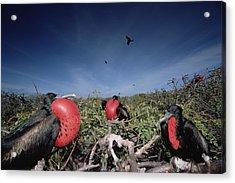 Great Frigatebird Males In Courtship Acrylic Print by Tui De Roy