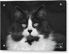 Great Gray Cat Acrylic Print