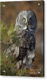 Acrylic Print featuring the photograph Great Gray Owl  14 by Katie LaSalle-Lowery