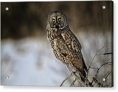 Great Gray Owl 2 Acrylic Print