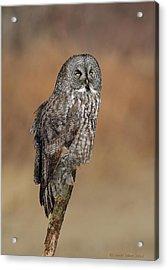 Great Gray Owl Acrylic Print by Daniel Behm