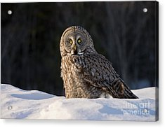 Great Gray Owl In Snow Acrylic Print