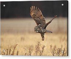 Great Gray Owl Liftoff Acrylic Print by Daniel Behm