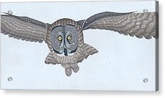 Great Gray Owl Acrylic Print by Nathan Marcy