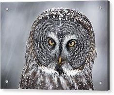 Great Gray Owl Scowl Minnesota Acrylic Print by Benjamin Olson