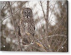 Great Grey Owl Acrylic Print by Eunice Gibb
