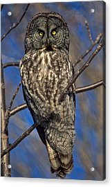 Great Grey Owl Acrylic Print by Michael Hubley