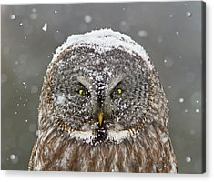 Great Grey Owl Winter Portrait Acrylic Print