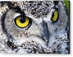 Great Horned Closeup Acrylic Print