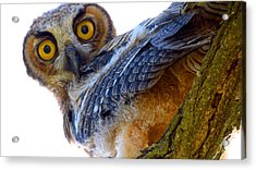 Great Horned Owl Acrylic Print by Catherine Natalia  Roche