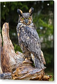 Great Horned Owl Acrylic Print by Craig Brown