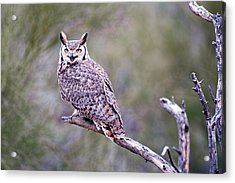 Acrylic Print featuring the photograph Great Horned Owl by Dan McManus
