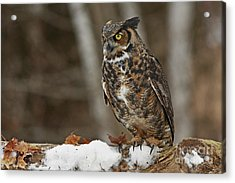 Great Horned Owl In A Snowy Winter Forest Acrylic Print by Inspired Nature Photography Fine Art Photography