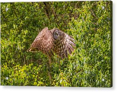Great Horned Owl Acrylic Print by Laura Bentley