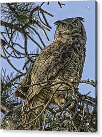 Great Horned Owl Acrylic Print by Tom Wilbert