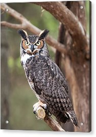 Great Horned Owl Acrylic Print by Tyson and Kathy Smith